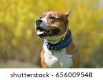 american staffordshire terrier...   Shutterstock . vector #656009548
