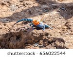 Small photo of The common red-headed rock lizzard, or rainbow agama (Agama agama).