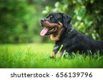 Stock photo rottweiler dog in summer 656139796