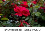 Red Rose On The Branch In The...