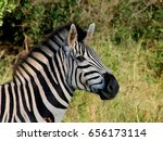 Head Zebra Striped Black And...