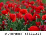 flowers red poppies blossom on... | Shutterstock . vector #656211616