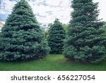 Small photo of Three Abies concolor on a green grass