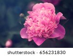 peony bud pink big flower. cold ... | Shutterstock . vector #656231830