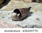 Canadian Goose Preening Itself...