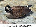 Canadian Goose Sitting On Rock...