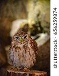 Small photo of Aegolius funereu / Tengmalm's Owl