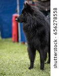 Small photo of Groenendael belgian shepherd portrait on a dog show