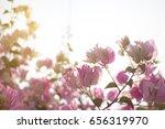 beautiful bougainvillea flower... | Shutterstock . vector #656319970