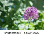 allium aflatunense  is a... | Shutterstock . vector #656348023