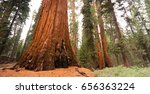 Large Sequoia Tree Estimated T...