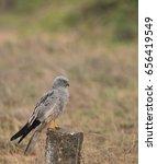 montagu's harrier | Shutterstock . vector #656419549