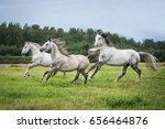 Beautiful White Horses Running...