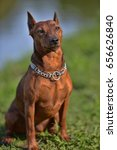 Small photo of Dwarf pinscher in summer on green grass