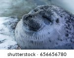 happy sea seal laying on the... | Shutterstock . vector #656656780