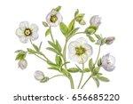 hellebore | Shutterstock . vector #656685220