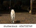 Anatolian Shepherd Dog Walking...