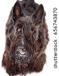 scotch terrier | Shutterstock . vector #656743870