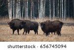 bialowieza forest reserve ... | Shutterstock . vector #656745094