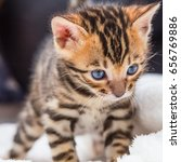 Stock photo bengal kitten 656769886