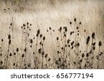 Dry Thistles And Field Of Brow...