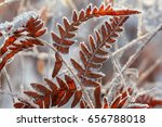 Fern Leaves Covered With Frost