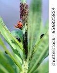 ladybugs  coccinella... | Shutterstock . vector #656825824
