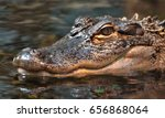 An American Alligator ...