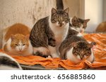 many cats together indoors...   Shutterstock . vector #656885860