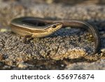 Small photo of Snake eyed skink (Ablepharus kitaibelii)