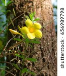 Small photo of Close-up view. Allamanda cathartica l. Or a Golden trumpet blossoming with the sunlight.