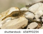 Small photo of Atyaephyra thyamisensis freshwater shrimp