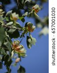 Small photo of Flowers on a tulip tree