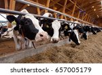many cows on a dairy farm. milk ... | Shutterstock . vector #657005179