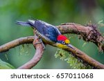 yellow fronted woodpecker   Shutterstock . vector #657011068