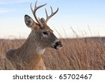 A White Tailed Buck  ...