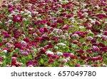 Field Of Flowers Sweet William.