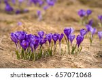 Alpine Crocuses Blossom In The...