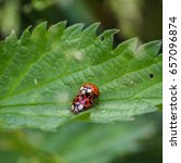 A Pair Of Ladybirds Captured...
