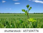 tall weed seen growing in a... | Shutterstock . vector #657104776