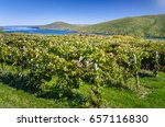 hillside vineyard with a... | Shutterstock . vector #657116830