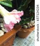 Small photo of Pink Adenium and Raindrops
