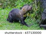 tayra   Shutterstock . vector #657130000