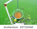 cage basket for feeding fish in ... | Shutterstock . vector #657132460