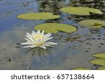 white lily  nymphaea and its... | Shutterstock . vector #657138664