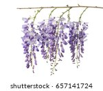 wisteria flowers isolated on... | Shutterstock . vector #657141724