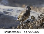 large cactus finch  geospiza... | Shutterstock . vector #657200329