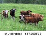 Cattle Grazing On Green Meadow
