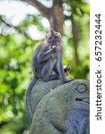 small monkeys in the forest in... | Shutterstock . vector #657232444
