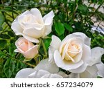 Stock photo beautiful white rose white rose white flower 657234079